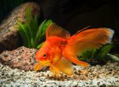 Правила гадания Золотая рыбка: сбудется желание или нет