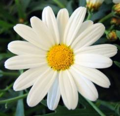 Ромашка предскажет будущее: как гадать на цветке