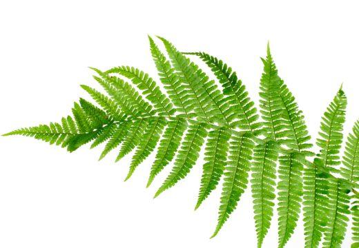 листок папоротника
