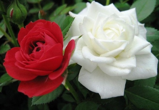 красная белая розы