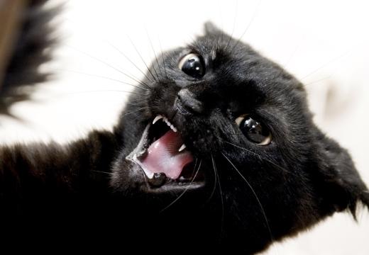 злой черный кот